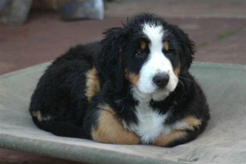 Bernese Mountain Dog Pups For Sale Australia